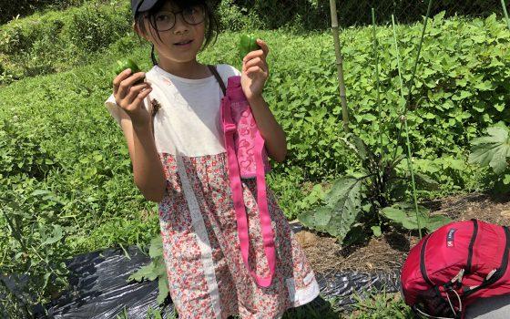 6/9 夏野菜収穫、サツマイモ植え