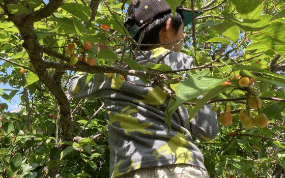 サツマイモ植え、さくらんぼとり 4/25